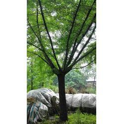 东北银杏树、银杏树、邳州老兵银杏苗(查看)图片