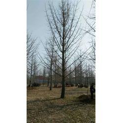 12公分银杏树,老兵银杏(在线咨询),重庆银杏树图片