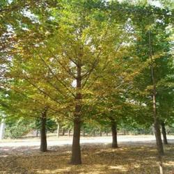 银杏树|老兵银杏苗圃场|27公分银杏树