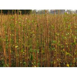 米径2公分银杏树、老兵银杏(在线咨询)、张家口银杏树图片