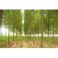 周口黄杨树_求黄杨树苗_宣禾园林绿化图片