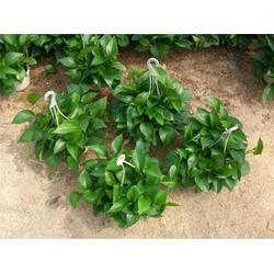 绿萝吊兰 绿萝吊兰绿色环保 卉景绿萝吊兰(认证商家)图片