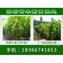 供应3-4公分法桐功法�M�g小苗国裕苗木价图片