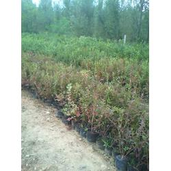 北陆蓝莓苗_蓝莓苗_泰安蓝丰园艺场(查看)图片