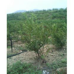 梨苗,蓝莓苗、泰安蓝丰园艺场(已认证)、山东蓝莓苗图片