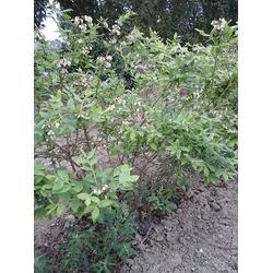 蓝莓|蓝莓组培苗-蓝丰提供|泰山蓝莓种植基地(认证商家)图片