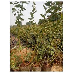 蓝莓苗技术|泰安蓝丰园艺场(已认证)|蓝莓苗图片
