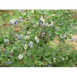 藍莓苗 盆栽,青海藍莓苗,泰安藍豐園藝場(查看)圖片