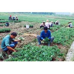 哪有卖草莓苗的、泰安蓝丰园艺场、广西草莓苗图片