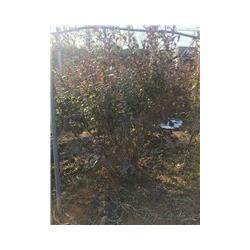 蓝莓苗|泰安蓝丰园艺场|半高三年蓝莓苗哪里买图片