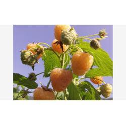 树莓苗_黑树莓苗基地_泰安蓝丰园艺场(优质商家)图片