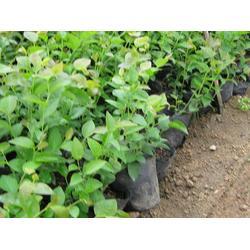 泰安蓝丰园艺场(图) 蓝莓苗价钱 蓝莓苗图片