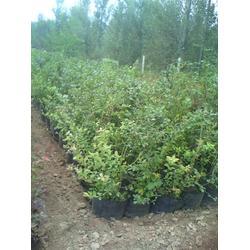 高成活率的蓝莓苗-泰安蓝丰园艺场(已认证)海南蓝莓苗图片