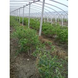 泰安藍豐園藝場、藍莓苗多少錢、藍莓苗圖片