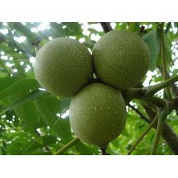 泰安国富苗木,核桃树苗,核桃树苗图片