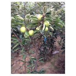 河南柱状苹果苗|泰安国富苗木|润太一号 柱状苹果苗图片