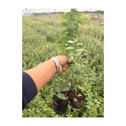 蓝莓苗品种_蓝莓苗_泰安国富苗木图片