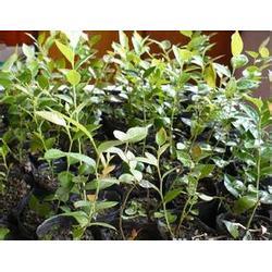 蓝莓苗,泰安国富苗木,蓝莓苗图片