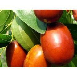 新疆大红枣树苗,泰安国富苗木,枣树苗图片