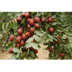 泰安国富苗木(图),沾化冬枣枣树苗,枣树苗图片
