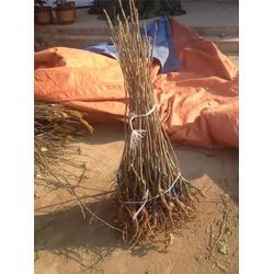 泰安國富苗木、求購板栗樹苗、板栗樹苗圖片