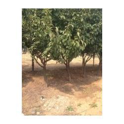 樱花树苗怎么培育,泰安国富苗木,樱花树苗图片