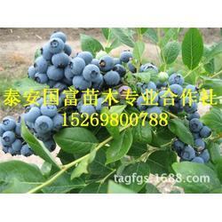泰安国富苗木(图)|蓝莓苗几年结果|蓝莓苗图片
