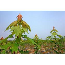 秋火焰当年苗2米以上,泰安秋火焰,枫羽绿化图片