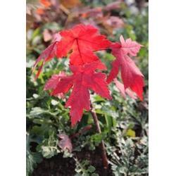 美国红点红枫当年苗_枫羽绿化_山东美国红点红枫图片