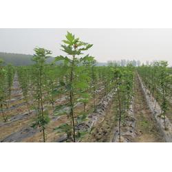 肥城秋火焰红枫哪里有卖的、秋火焰红枫、枫羽绿化(查看)图片