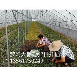 安徽红点红枫、红点红枫3-5公分小苗、枫羽绿化(优质商家)图片