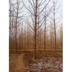 银杏树籽-银杏树-银杏森林(查看)图片