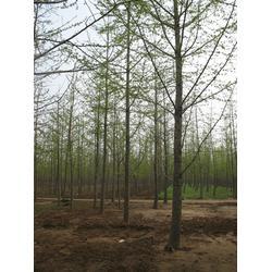 银杏森林(图)|12银杏树|银杏树图片