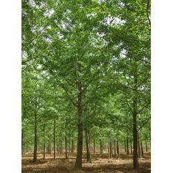 銀杏樹皮、銀杏樹、銀杏森林圖片