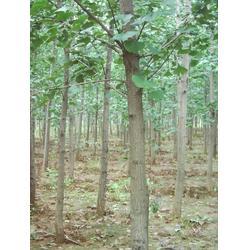 银杏叶的功效与作用、银杏森林、银杏图片