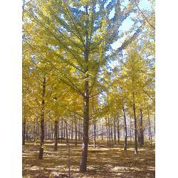 畫銀杏樹,銀杏樹,銀杏森林(查看)圖片