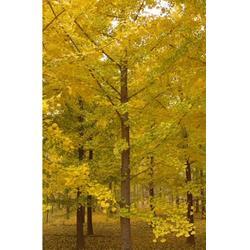 银杏树苗sxsys、银杏树、银杏森林图片