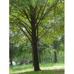 银杏森林(图)|银杏树苗|银杏树图片