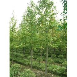 银杏森林(图)|28公分银杏树|银杏树图片
