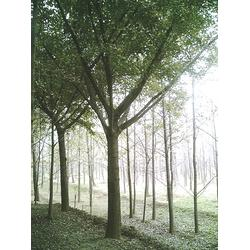 银杏森林(图)|银杏树公分|银杏树图片