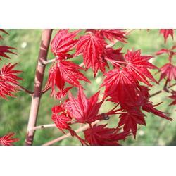 红枫|银杏森林|红枫图片