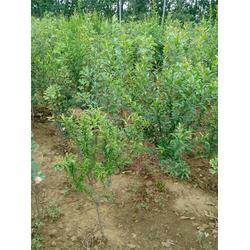 银杏森林(图)_石榴树_石榴树图片