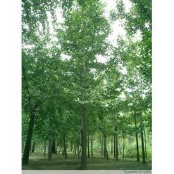 平定县10公分银杏树_泰康银杏_10公分银杏树的图片