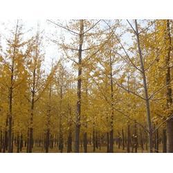 泰康银杏(图)|北京银杏树表|夏县银杏树表图片