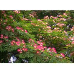 天秦绿化树木基地(图)、合欢树小苗供应、合欢树小苗图片