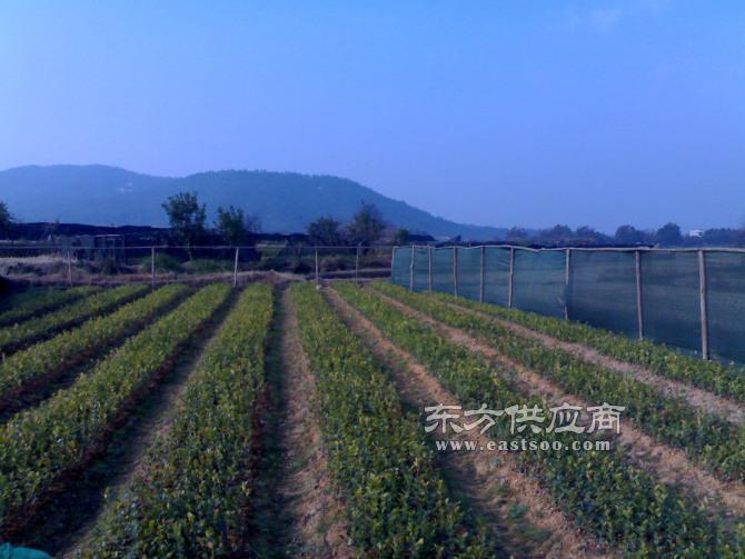 油茶,云南油茶苗,油茶苗圃基地(优质商家)图片
