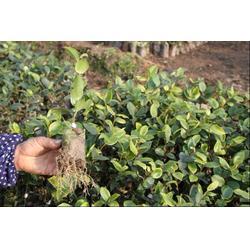 茶油树苗、油茶苗圃基地、求购山茶油树苗图片
