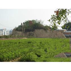 油茶树苗(图) 哪里的油茶树苗便宜 油茶树苗图片