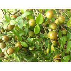哪里有油茶树苗卖、油茶树苗、油茶树苗图片