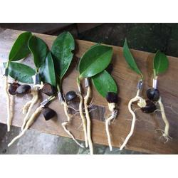 高产油茶树苗、高产油茶树苗、高产油茶树苗图片